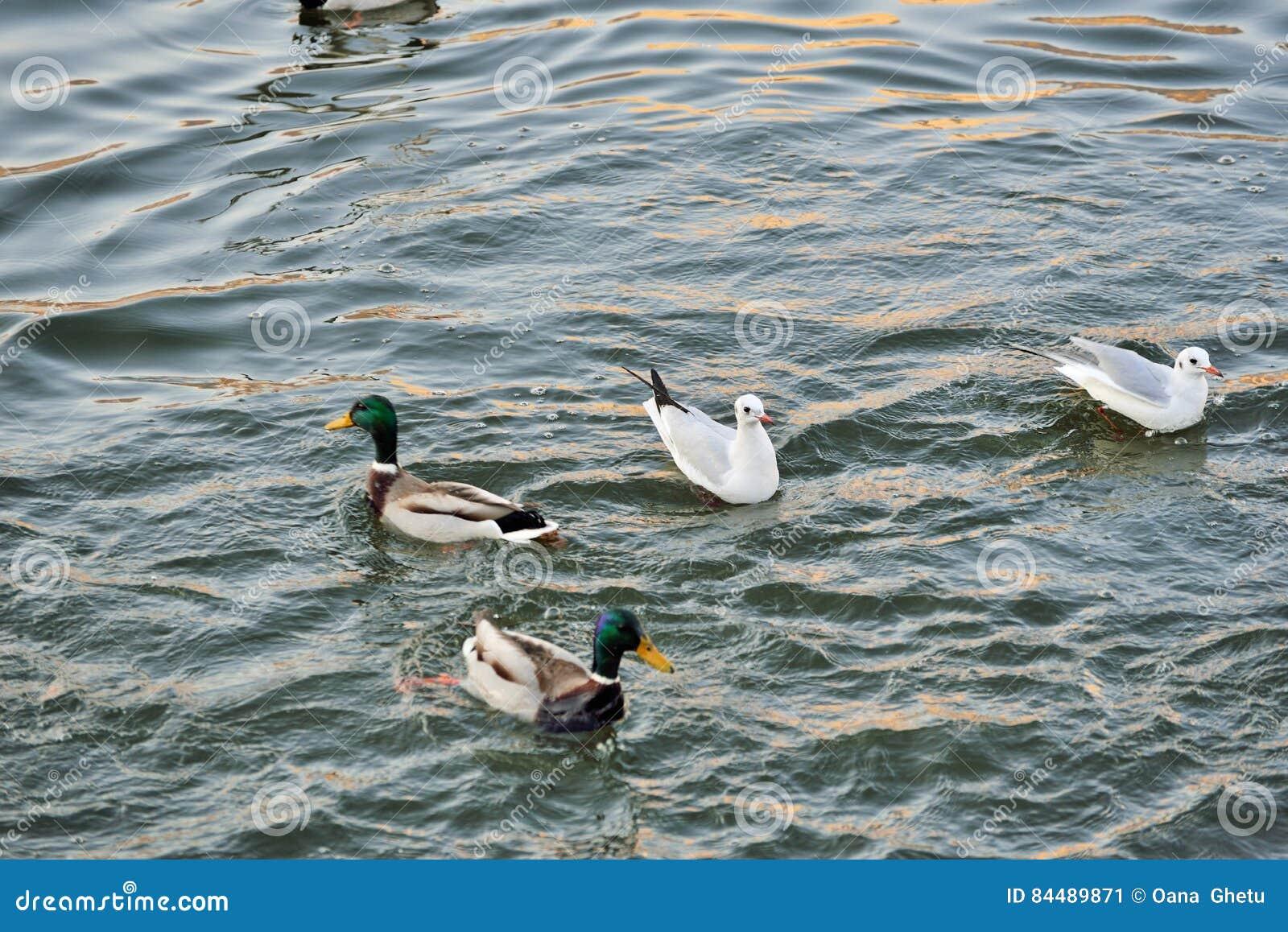 Cygnes, canards et mouettes sur la rivière