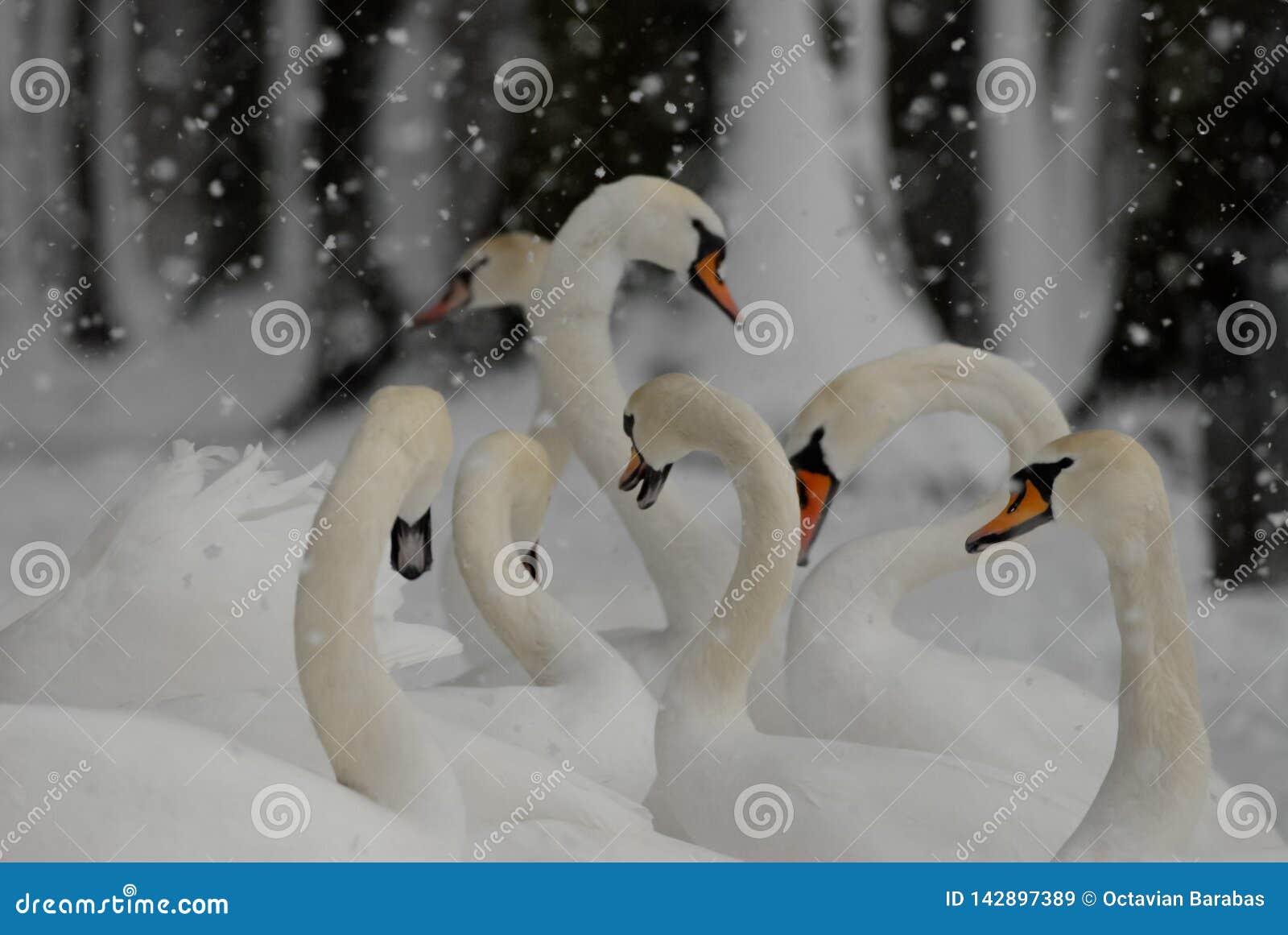 Cygnes dans la neige en hiver tout en neigeant