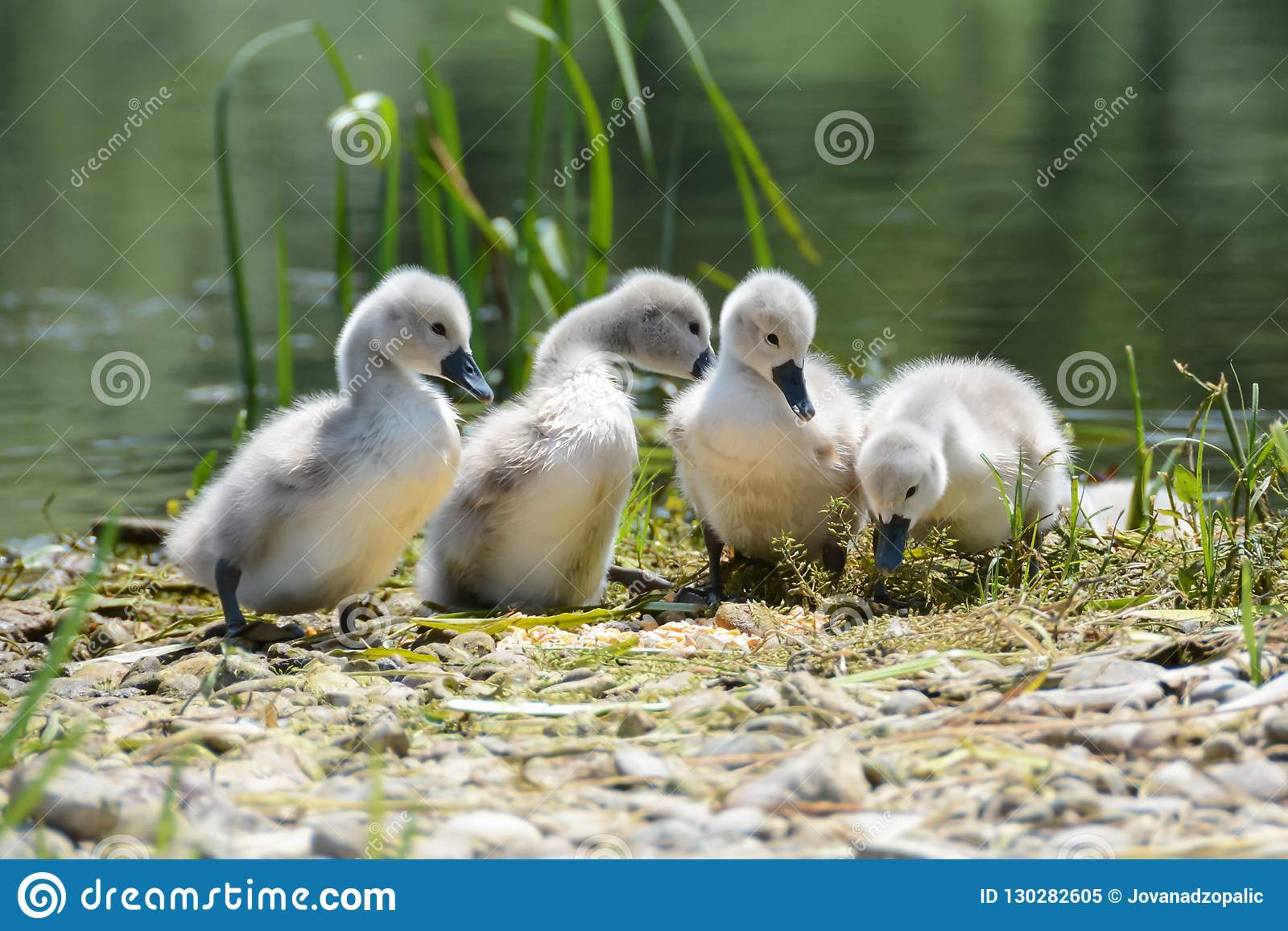 Cygnes de bébé d un rivage de lac