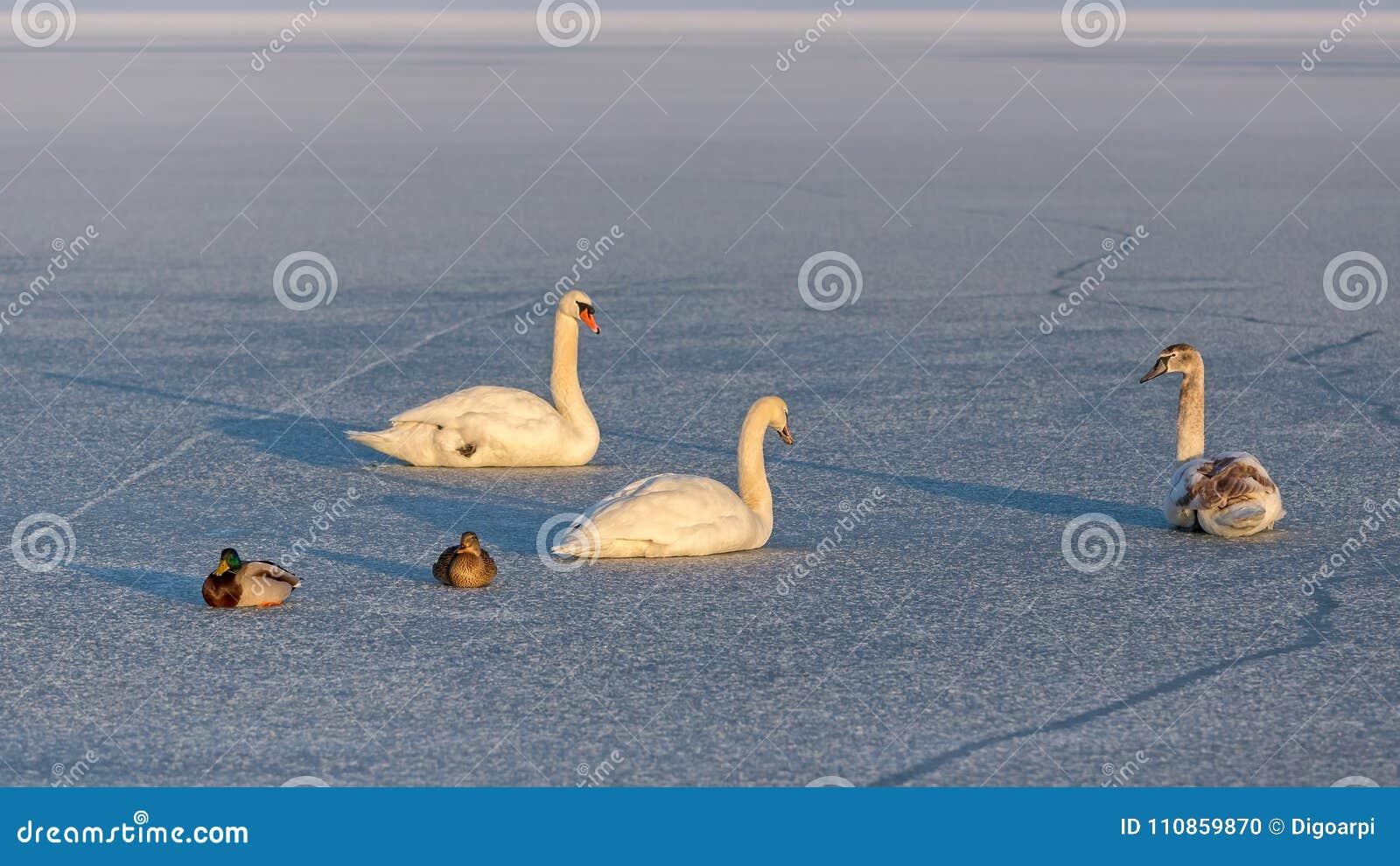 Cygnes muets et canards sauvages sur la glace du Lac Balaton en Hongrie