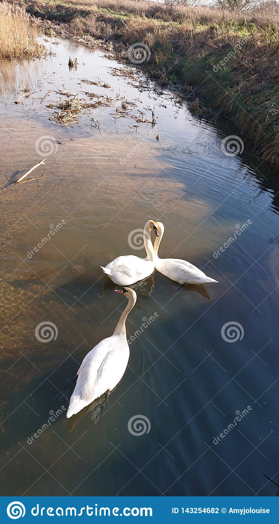 Cygnes nageant l amour de la vie de lac