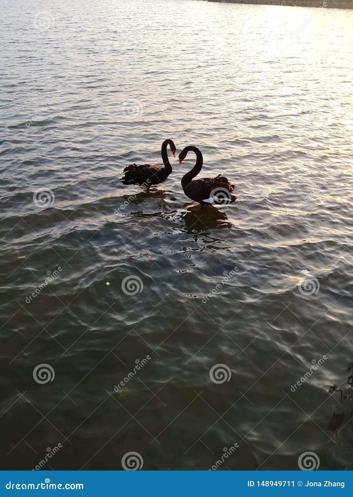 Cygnes noirs dans l amour, lac de mar?cage