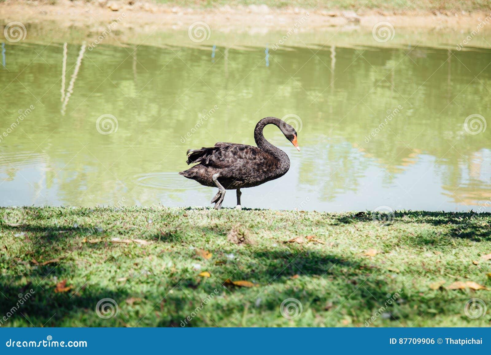 Cygnes noirs promenade de cygnes noirs autour de piscine de mer