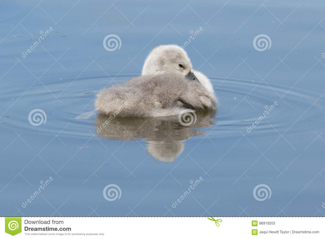 Cygnet in circle