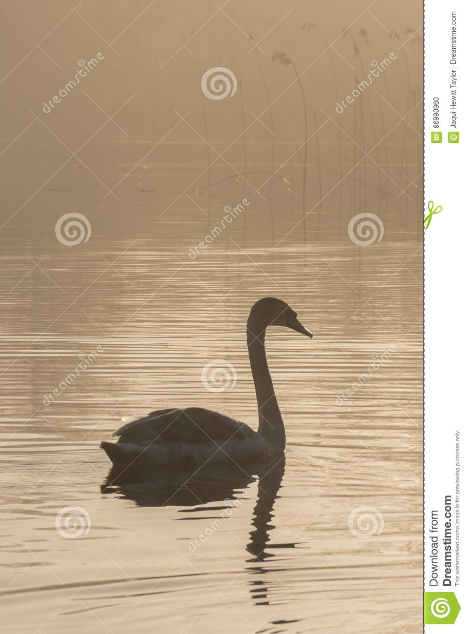 A cygnet in the mist