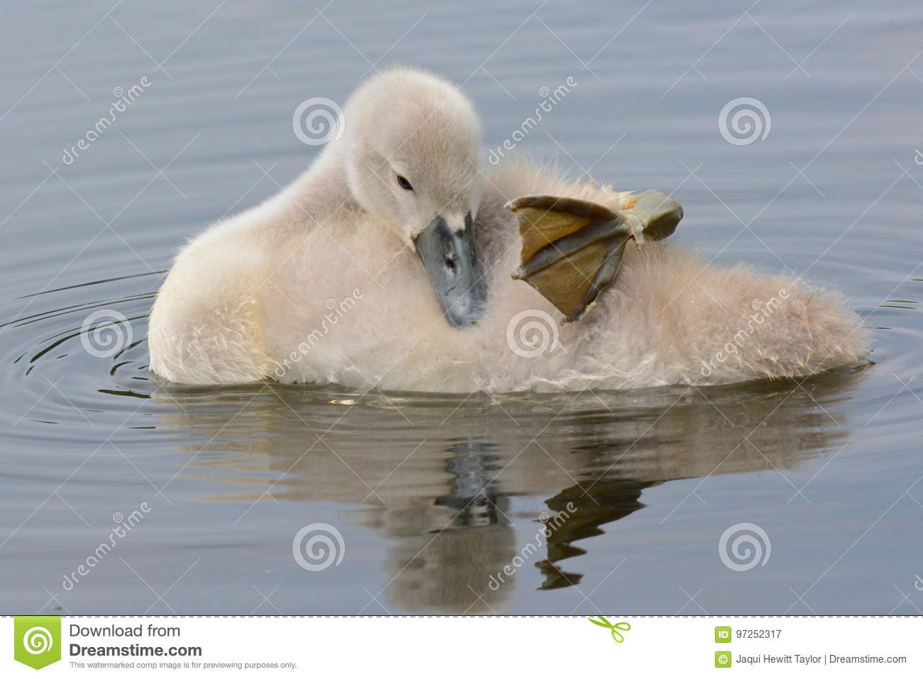 A cygnet sleeping on the water