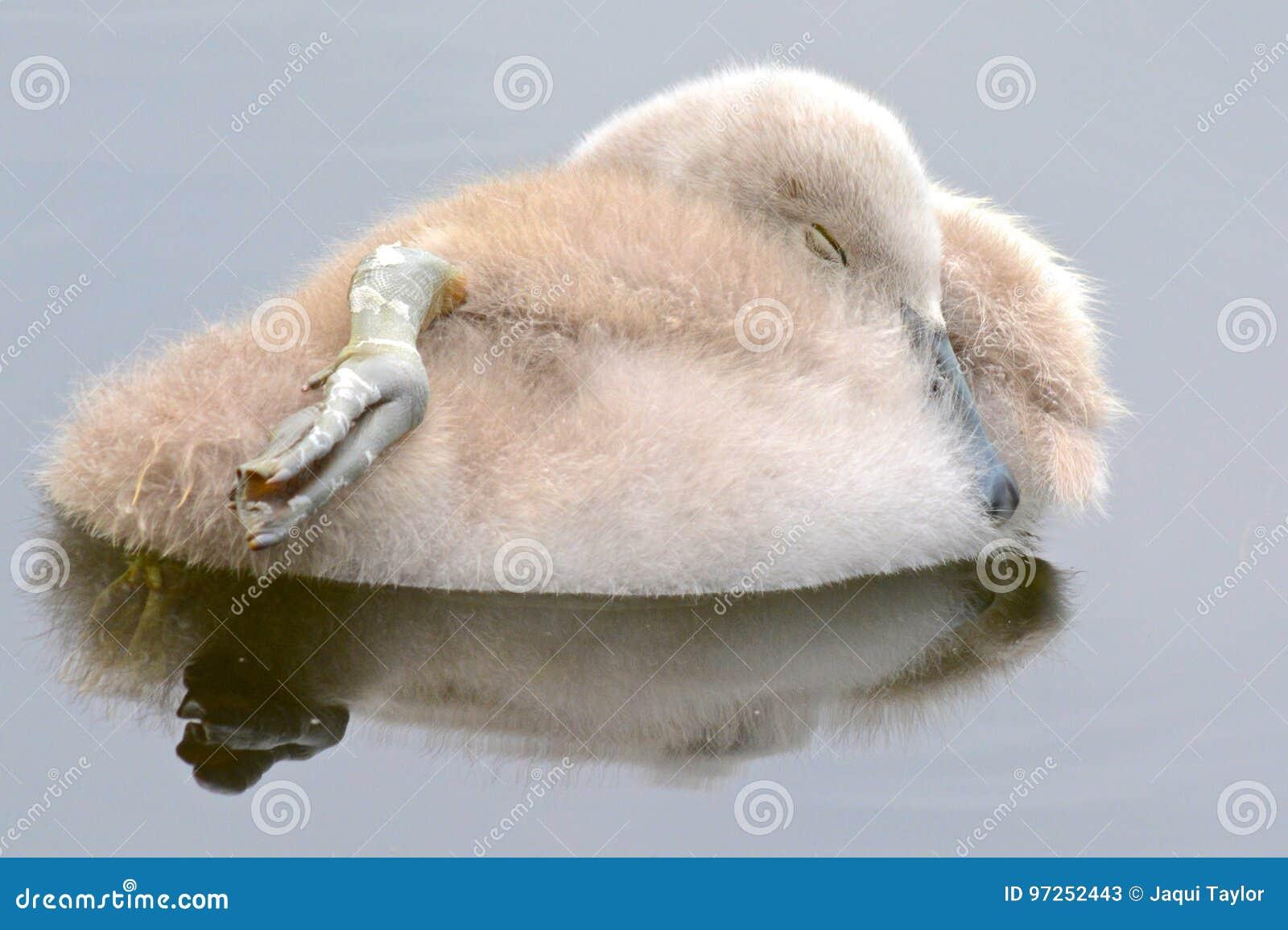 A cygnet sleeping on the water