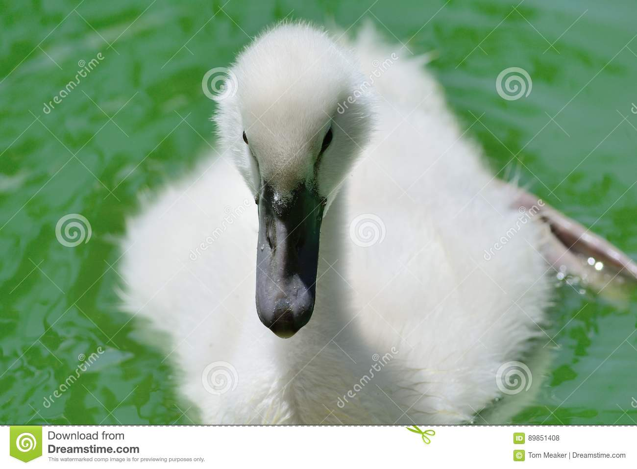 Cygnet in the water