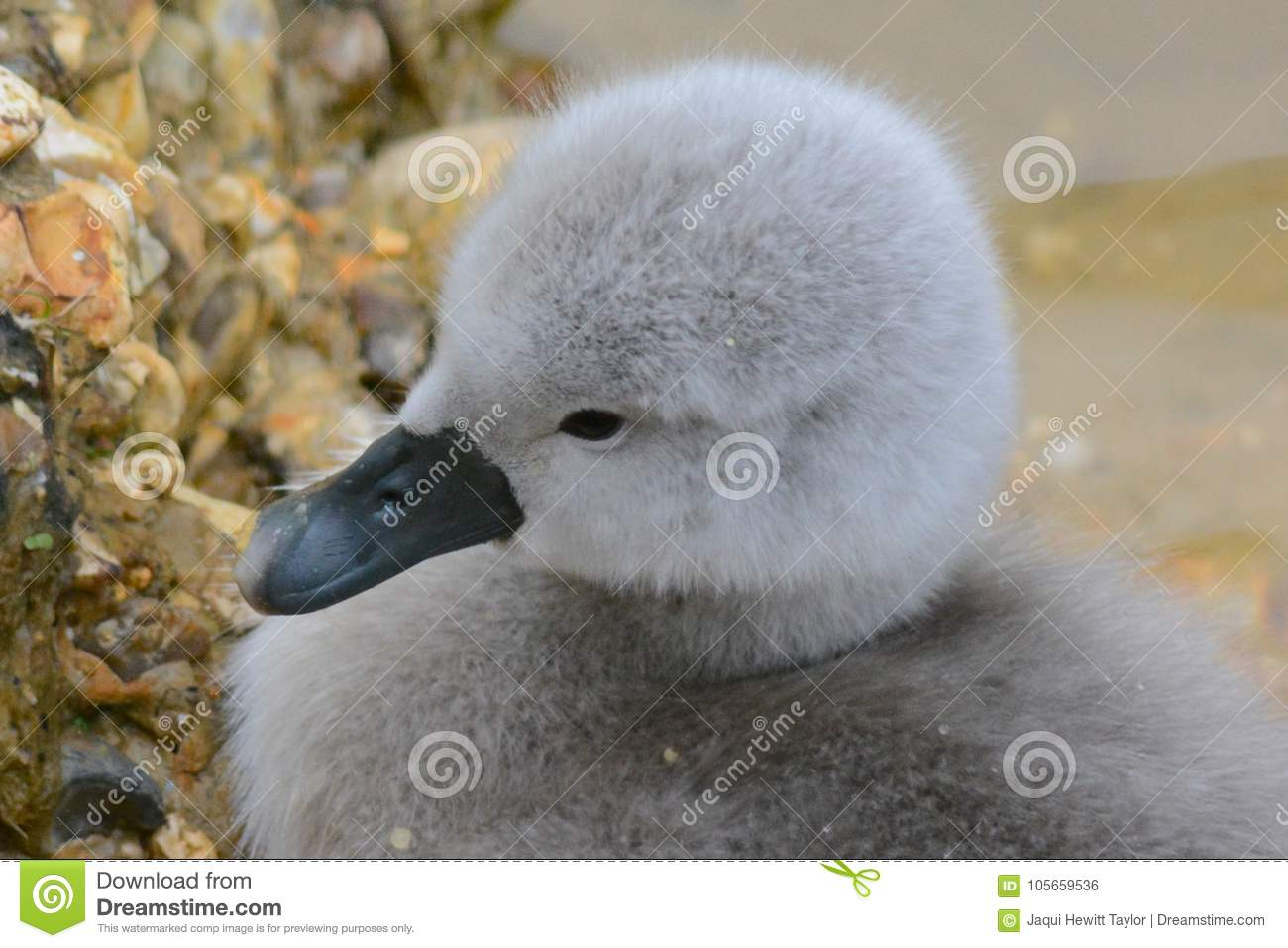 A cygnet on the Ornamental Pond, Southampton Common