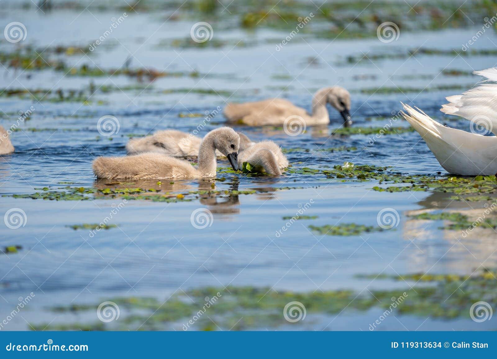 Cygnets da cisne muda