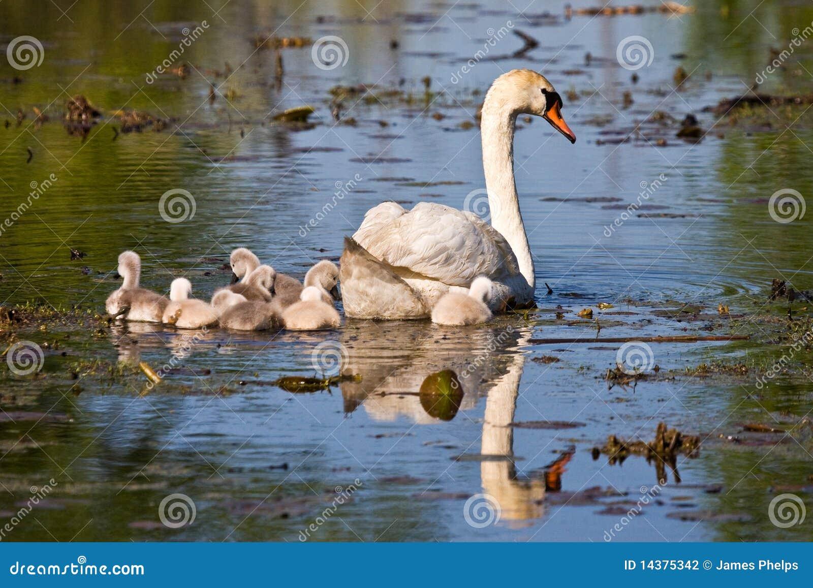 Cygnets da cisne muda e do bebê na lagoa