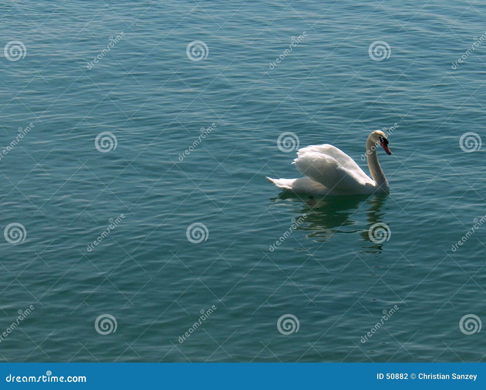Cygnus - cisne