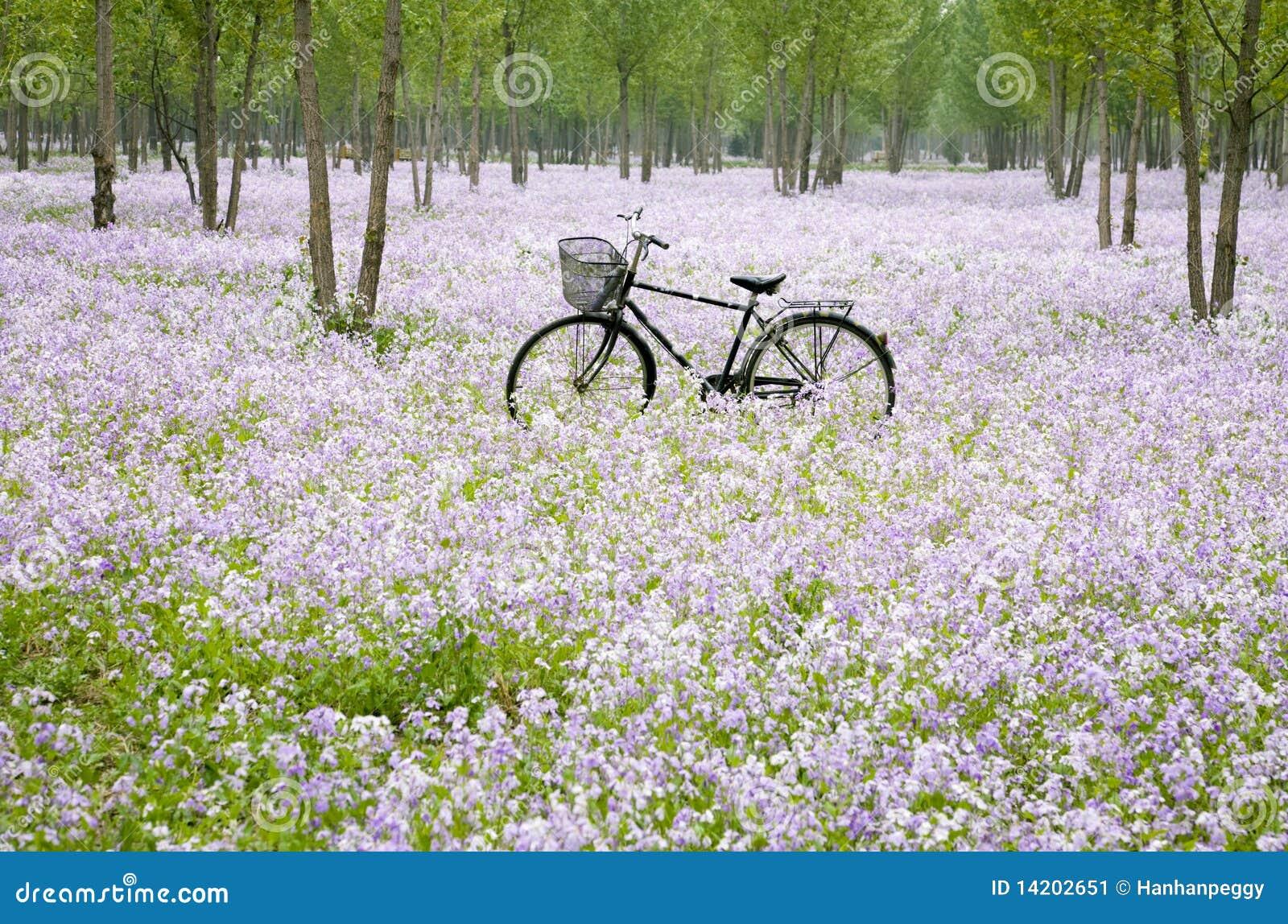 Cykelfältblomma