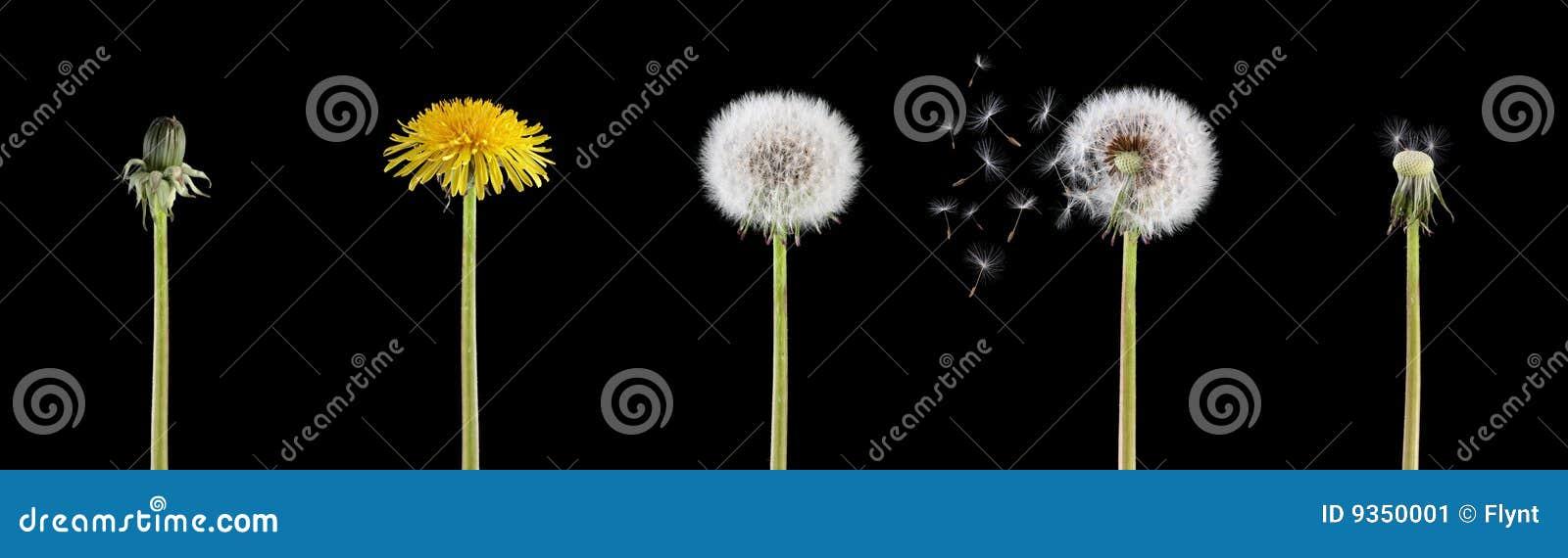 Cyklu dandelion życie