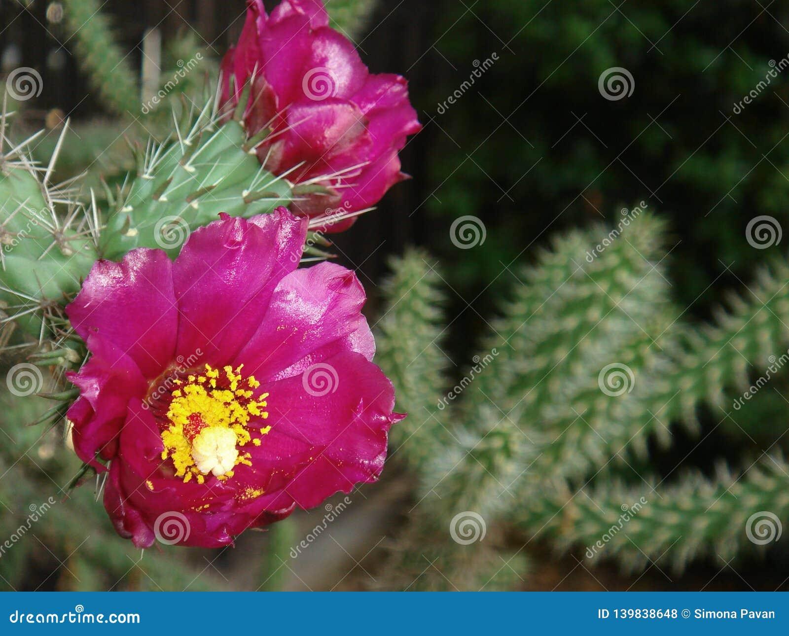 Cylindropuntia imbricata z magenta kwiatem
