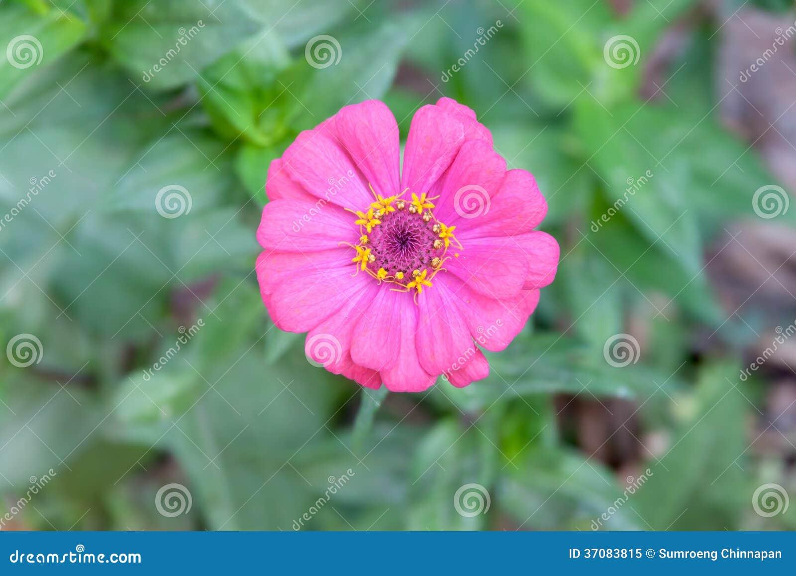 Download Cynia kwiat obraz stock. Obraz złożonej z biały, jaskrawy - 37083815
