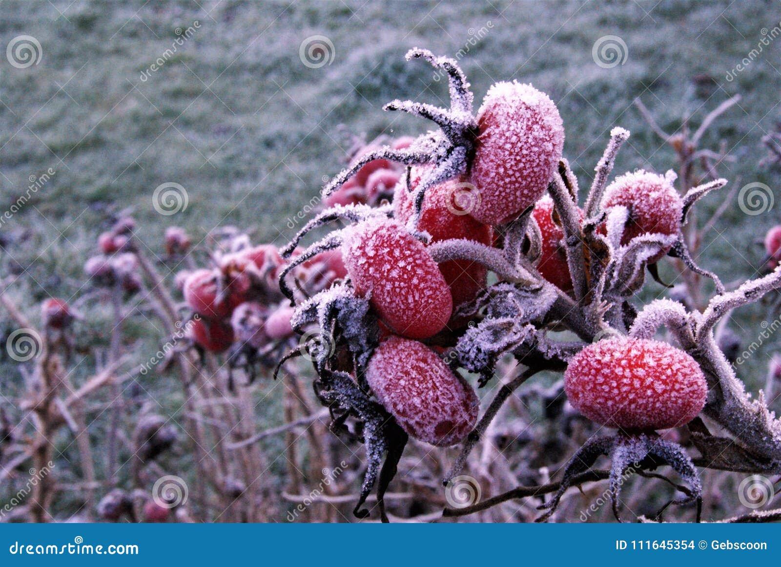 Cynorrhodons givrés un matin d hiver