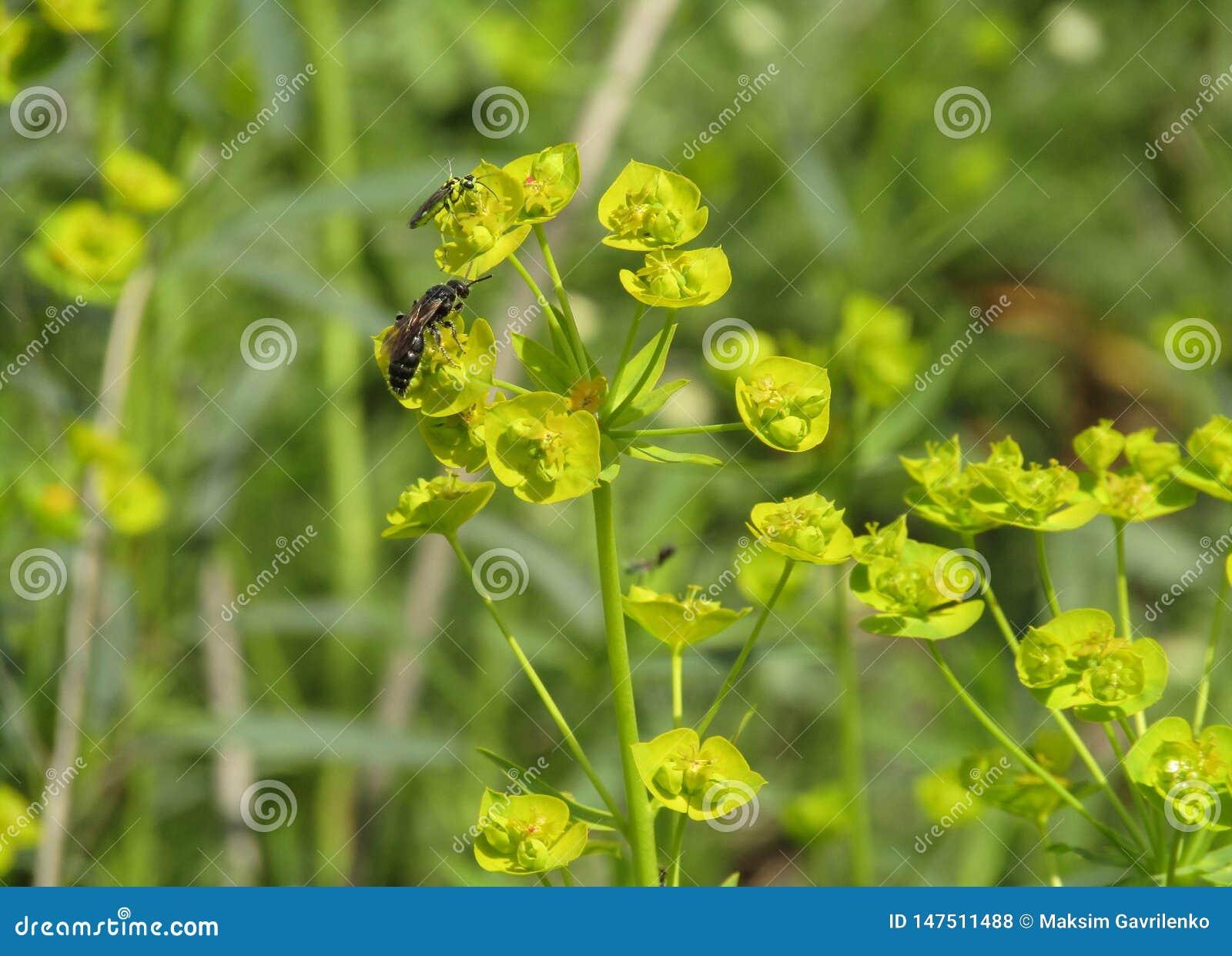 Cyparissias del euforbio de la planta