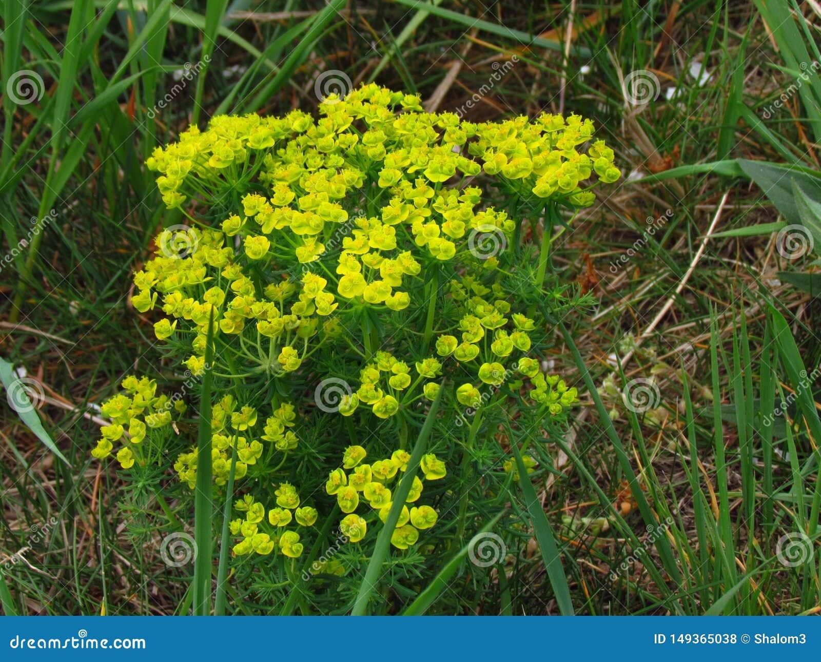 Cyparissias dell euforbia, euforbia inglese del cipresso, pianta tossica di fioritura gialla