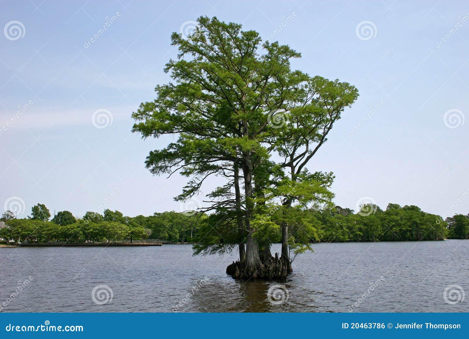 Cypress chauve