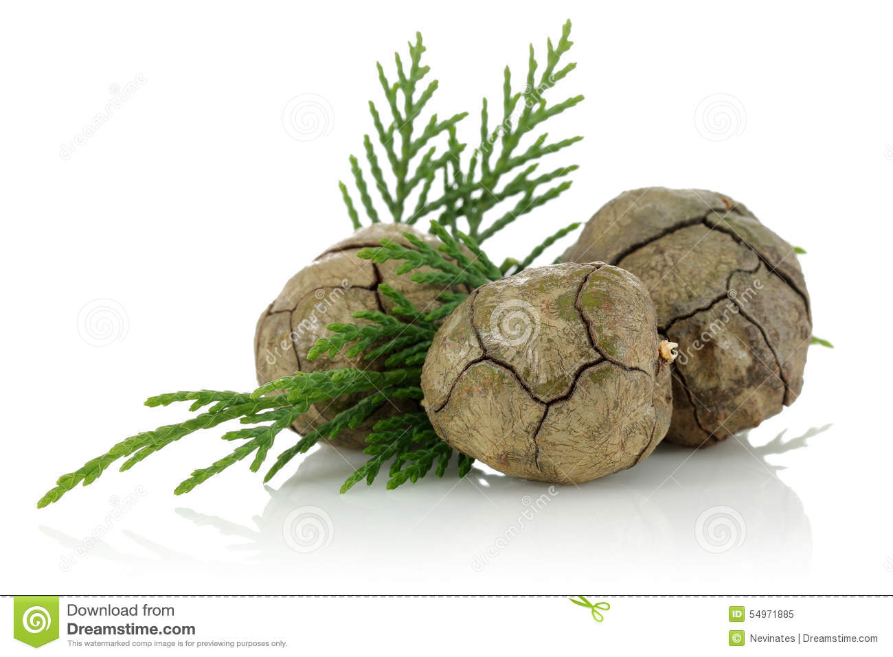 Download Cypress cones stock image. Image of grapevinesnail, fruit - 54971885