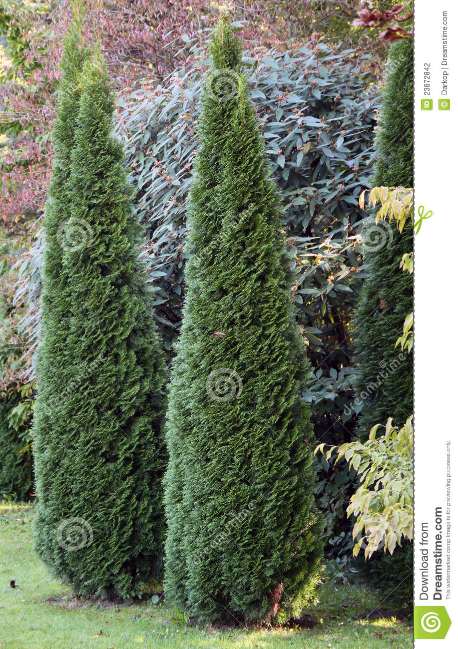 Cypress ornamental trees stock photo image of junipers for Small decorative evergreen trees