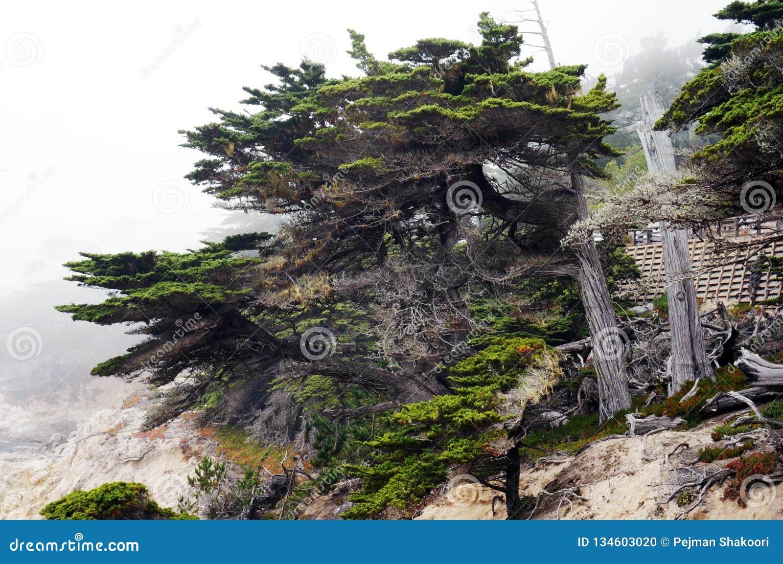 Cypress solitário Pebble Beach