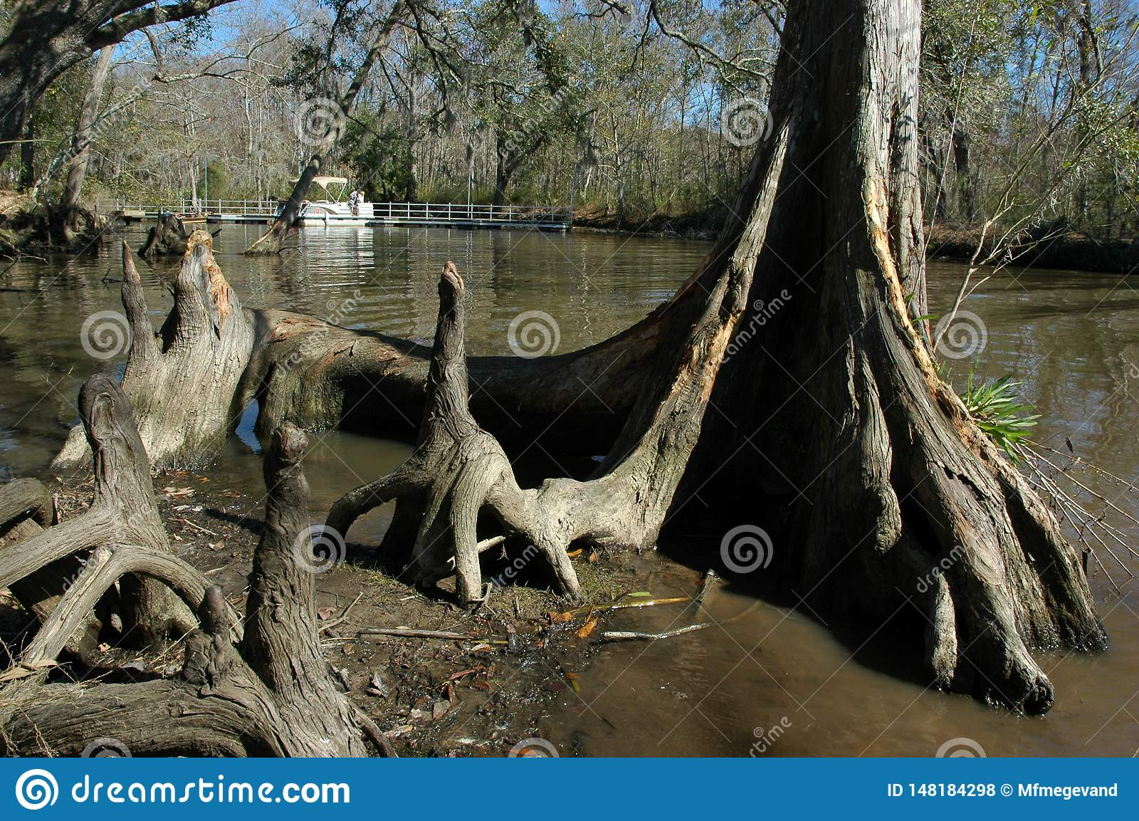 Cypress Tree In The Water At Fairview-Riverside State Park