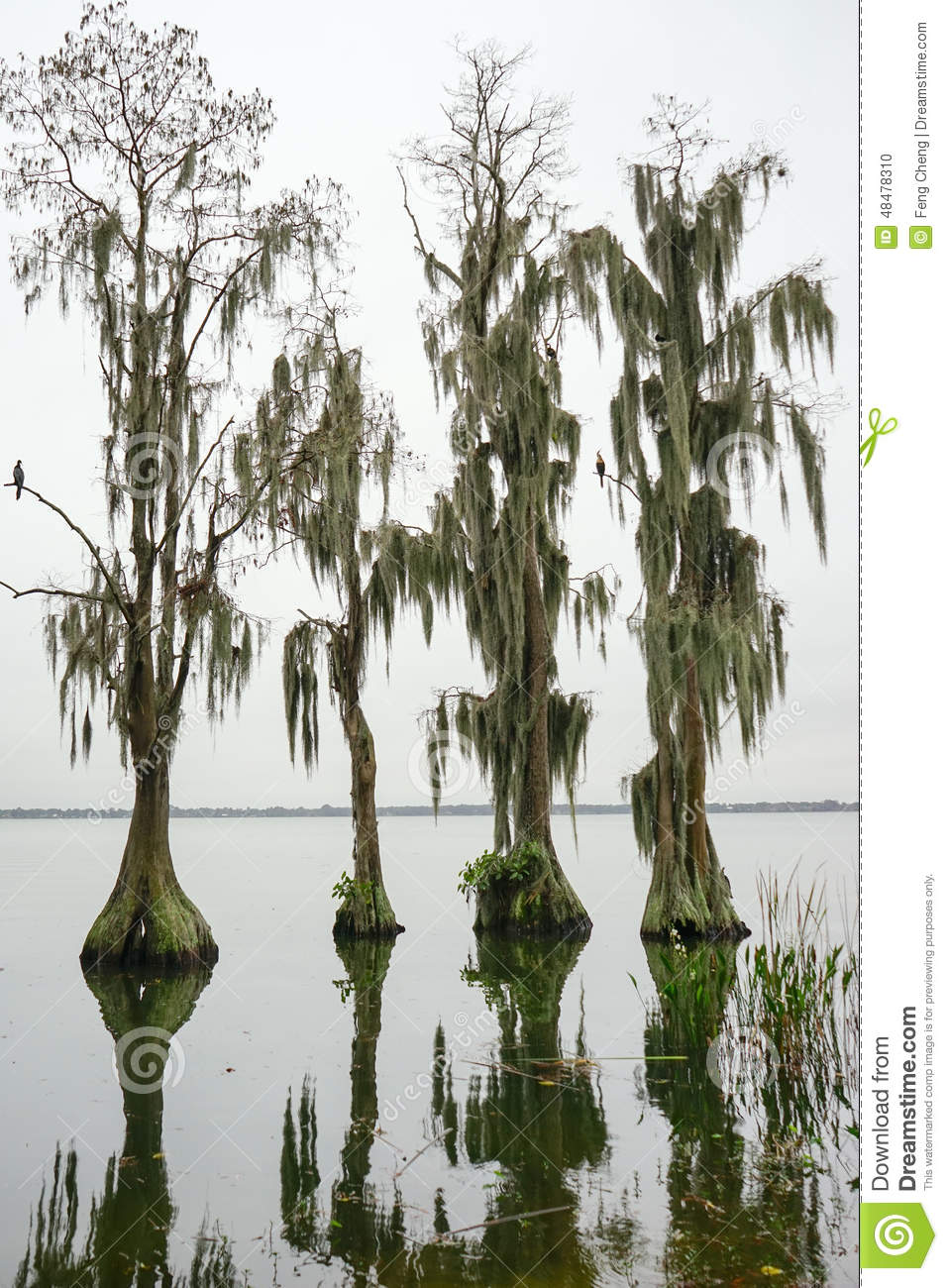 Cypress Trees grow in water. Taken in the Cypress Garden in the ...