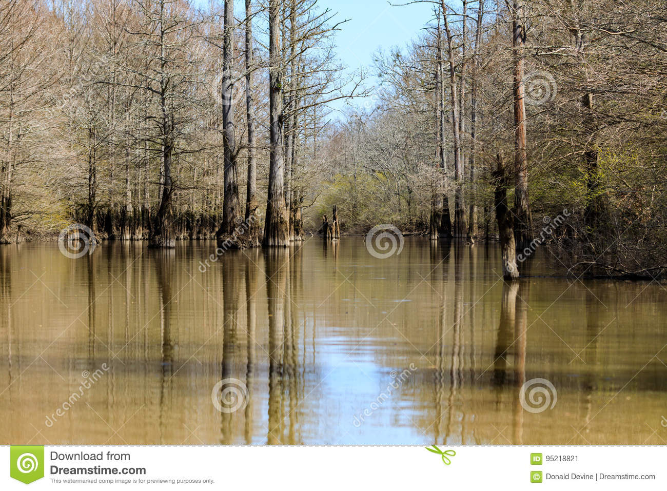 Cypress trees growing in a small lake at Bald Knob Wildlife Refuge.