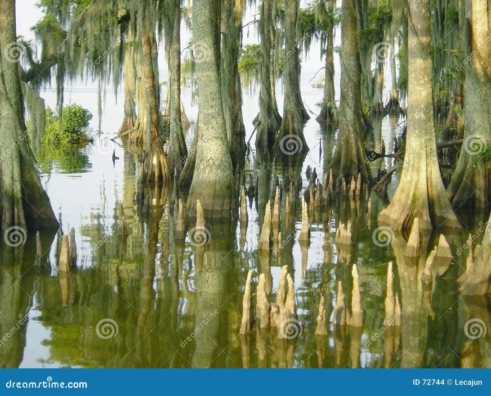 Cypressknä