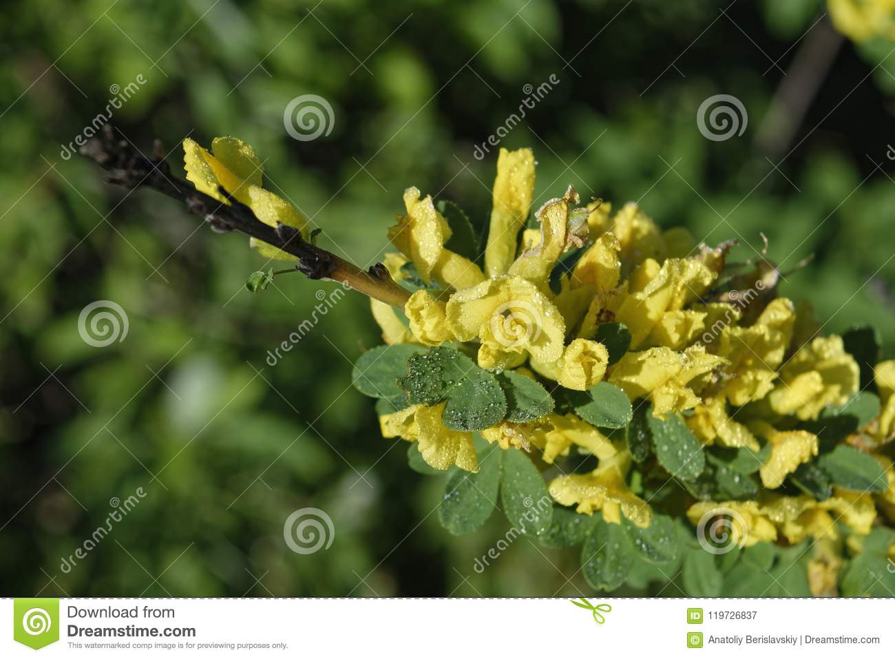 Flowering Shrub Bush With Yellow Flowers Close Up Stock Image