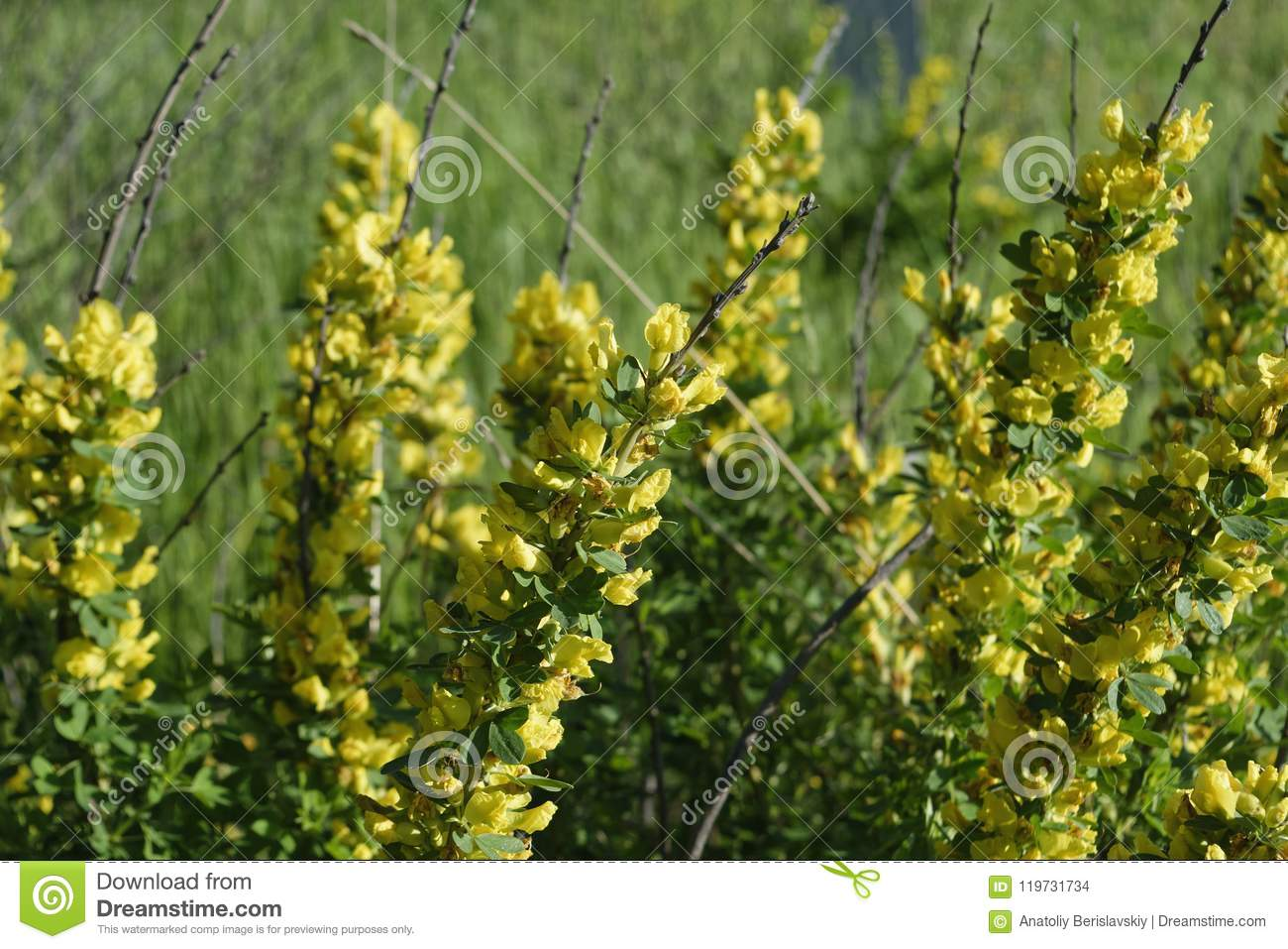 Flowering Shrub Bush With Yellow Flowers Close Up Stock Photo