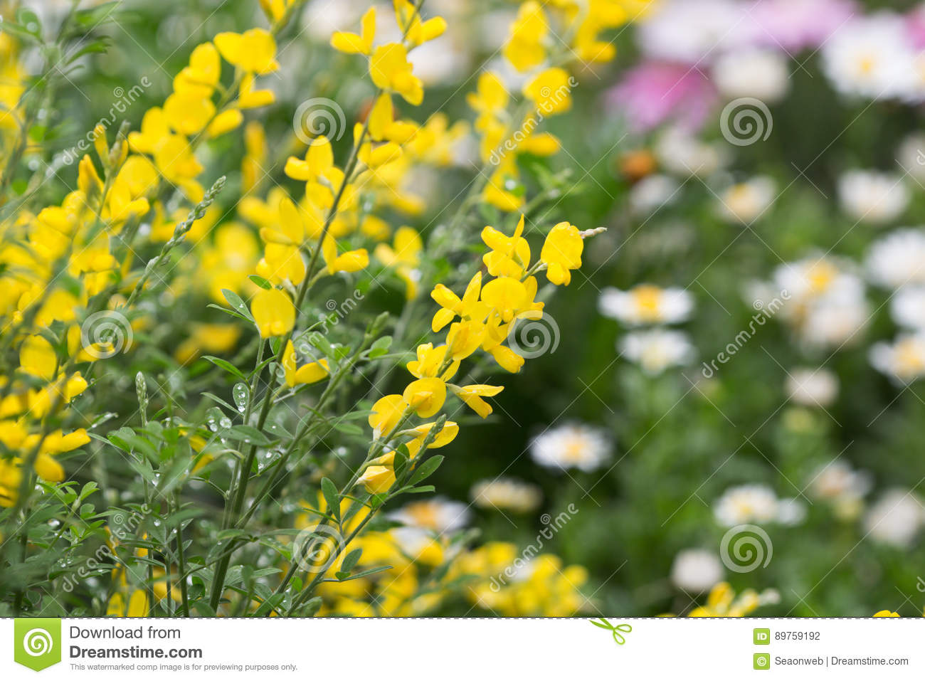 Cytisus Scorparius An Invasive Species Stock Photo Image Of Flower