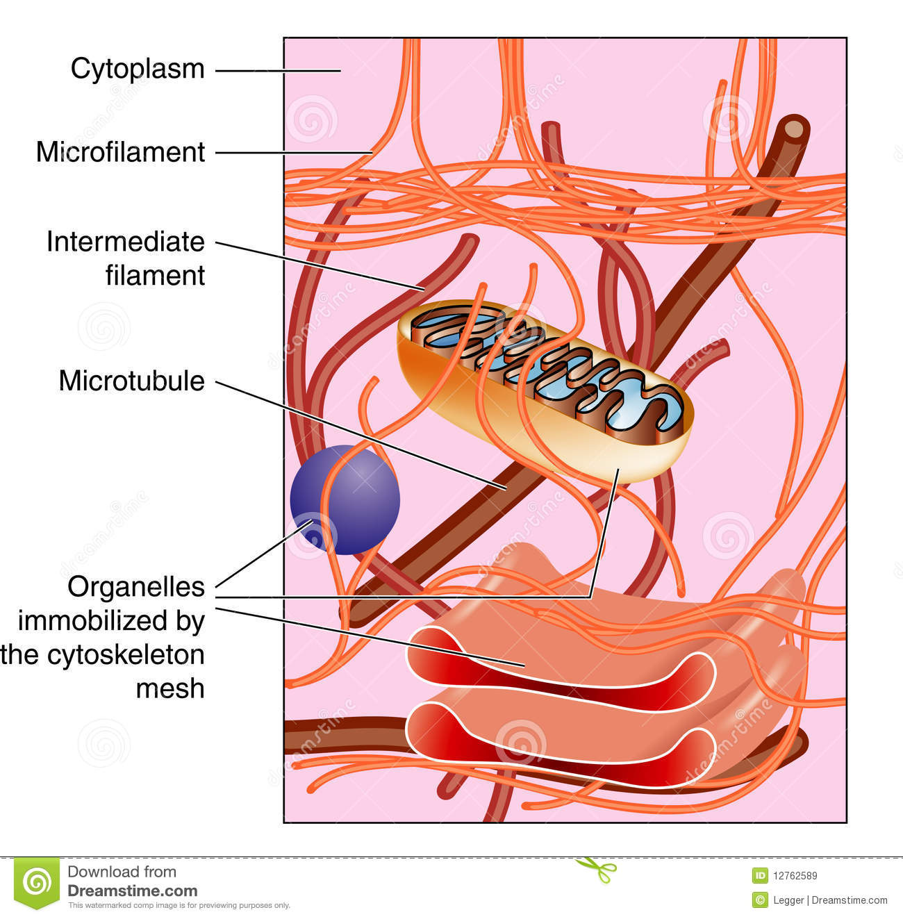 Cytoskeleton stock vector illustration of cell microtubule 12762589 cytoskeleton ccuart Images