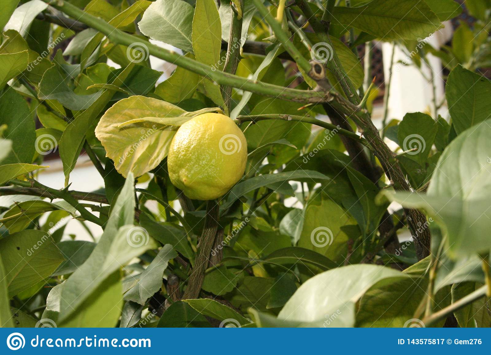 Cytryny drzewo makro-