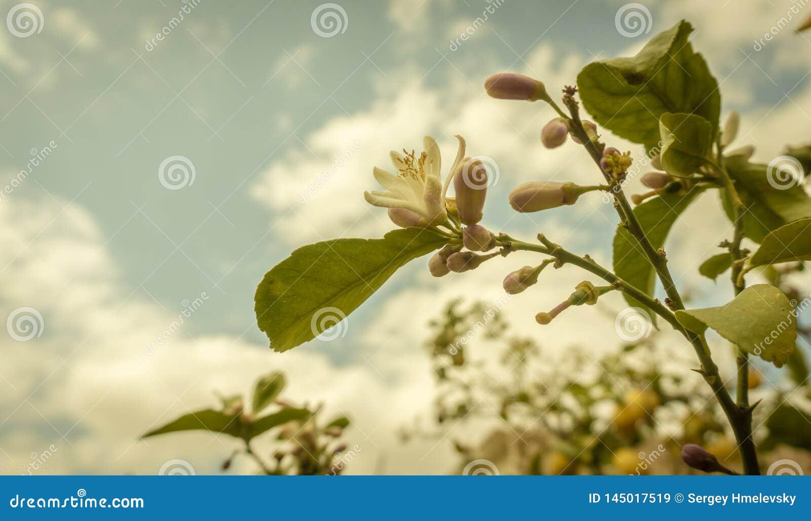 Cytryny drzewo w kwiacie