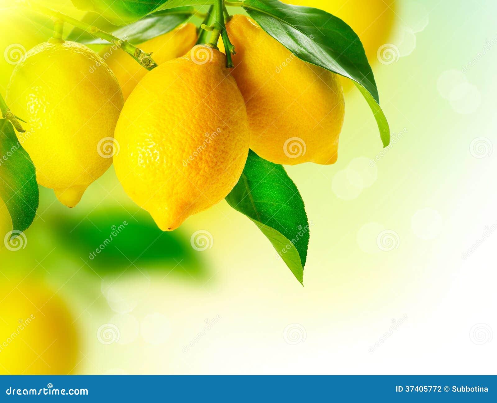 Cytryny Wiesza na cytryny drzewie