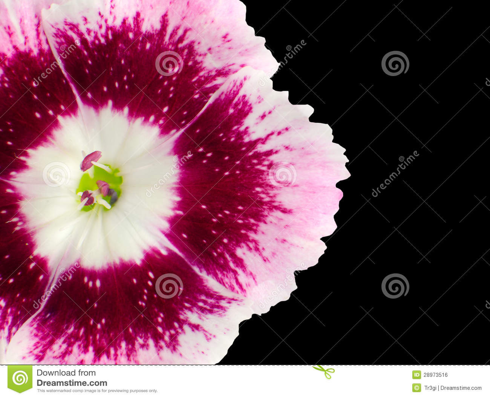 Część Różowy Dianthus kwiat Odizolowywający na czerni