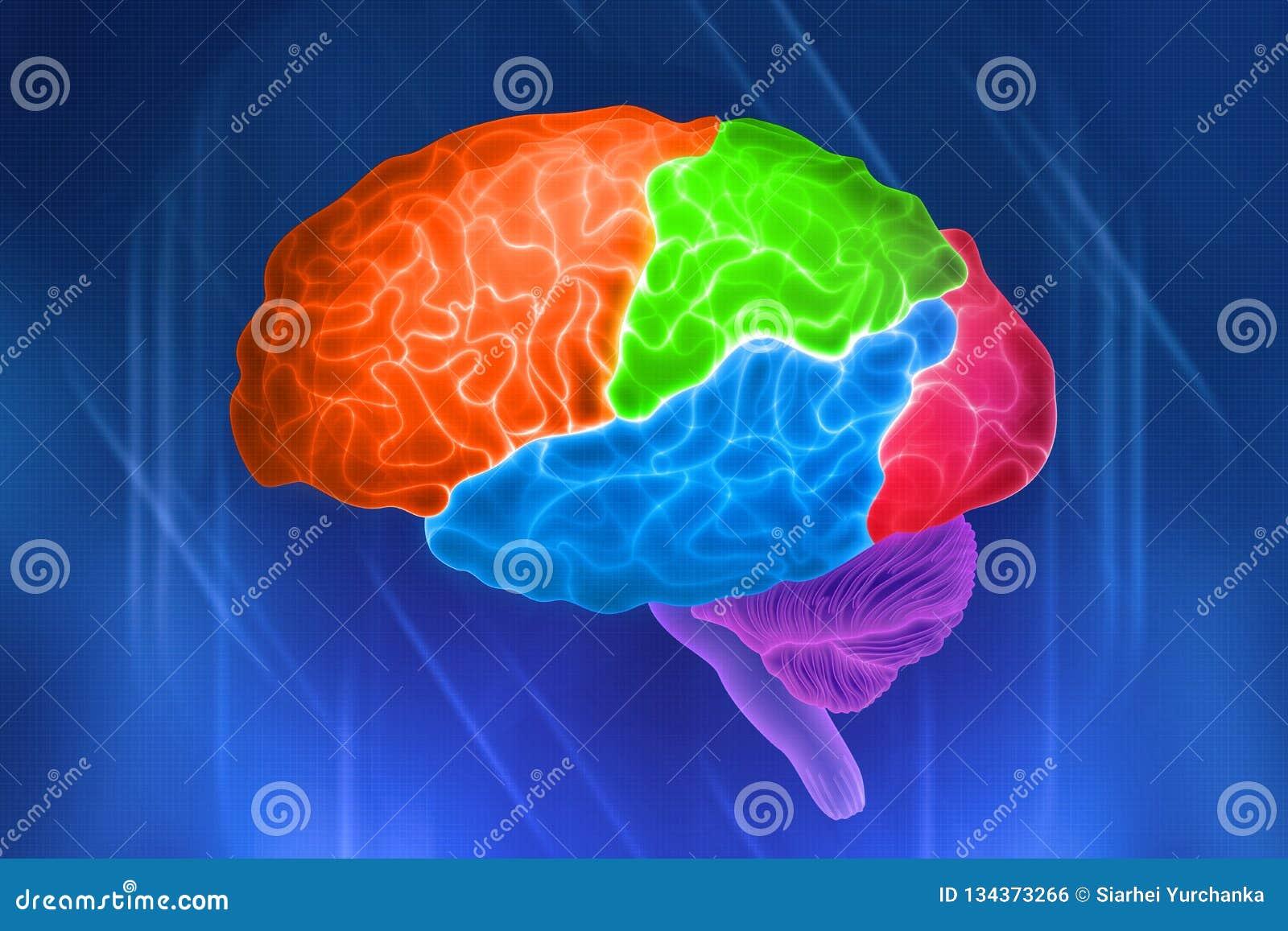 Części ludzki mózg