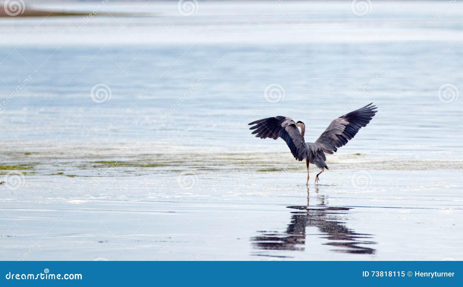 Czapla rozciąga jego skrzydła przy Joemma plażą na Kluczowym półwysepie Puget Sound blisko Tacoma Waszyngton
