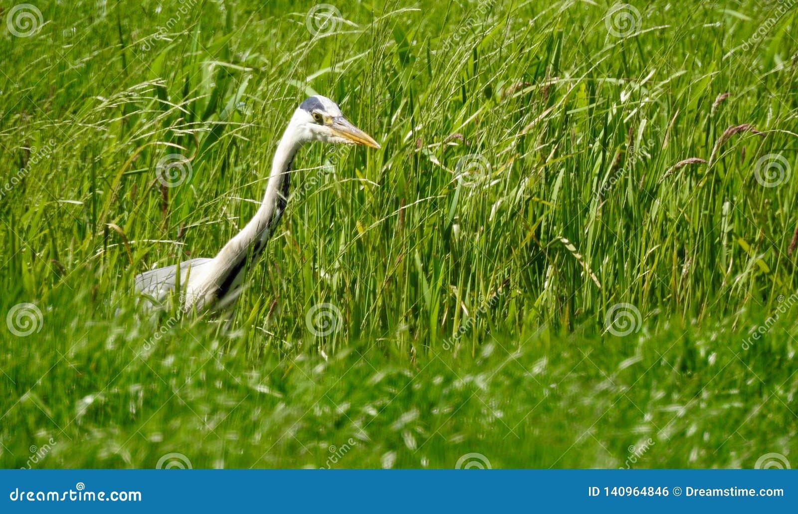 Czapla szuka jedzenie w przykopie między trawą