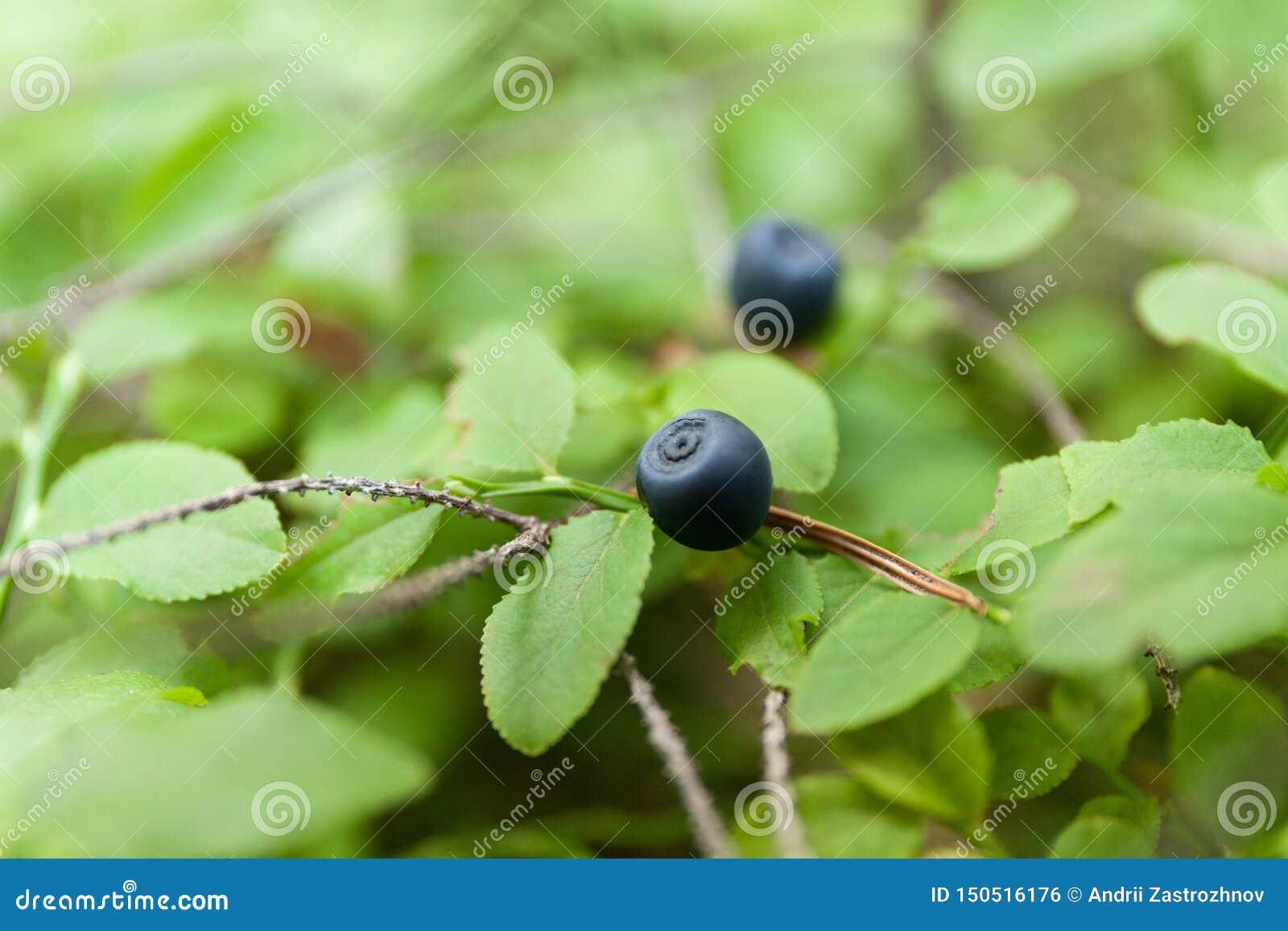 Czarna jagoda krzaka roślina w lesie, dzika dojrzała jesieni jagoda
