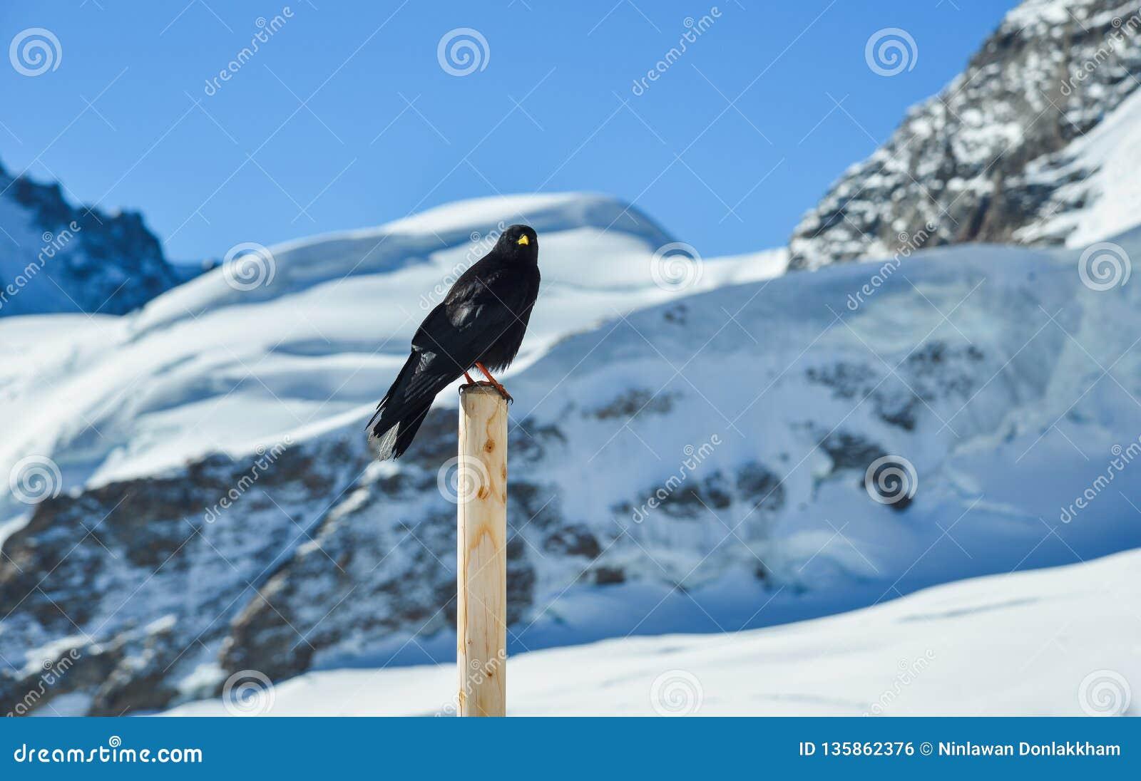 Czarna kruk pozycja na drewnianym filarze