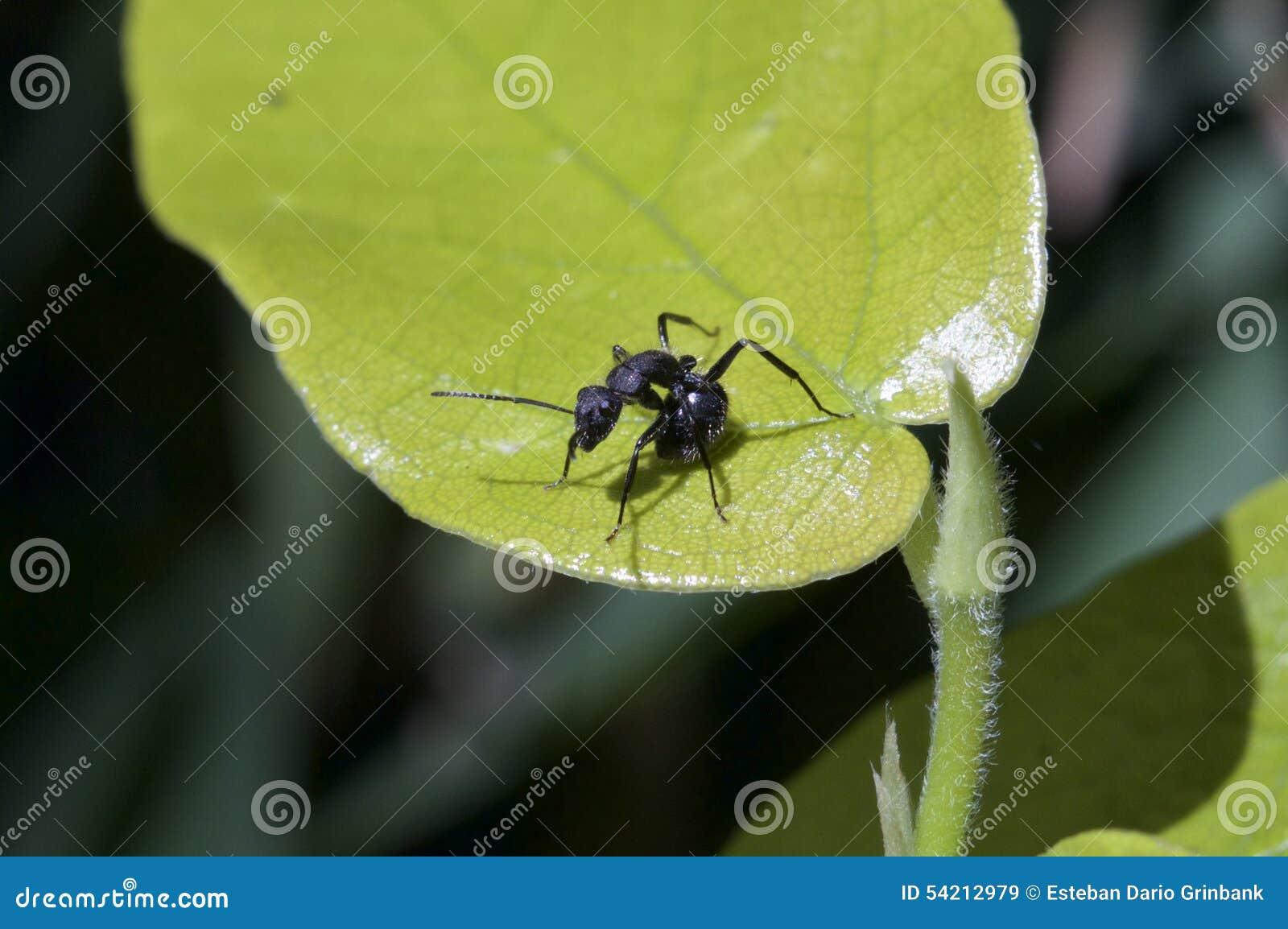 Czarna mrówka odpoczywa na zielonym liściu