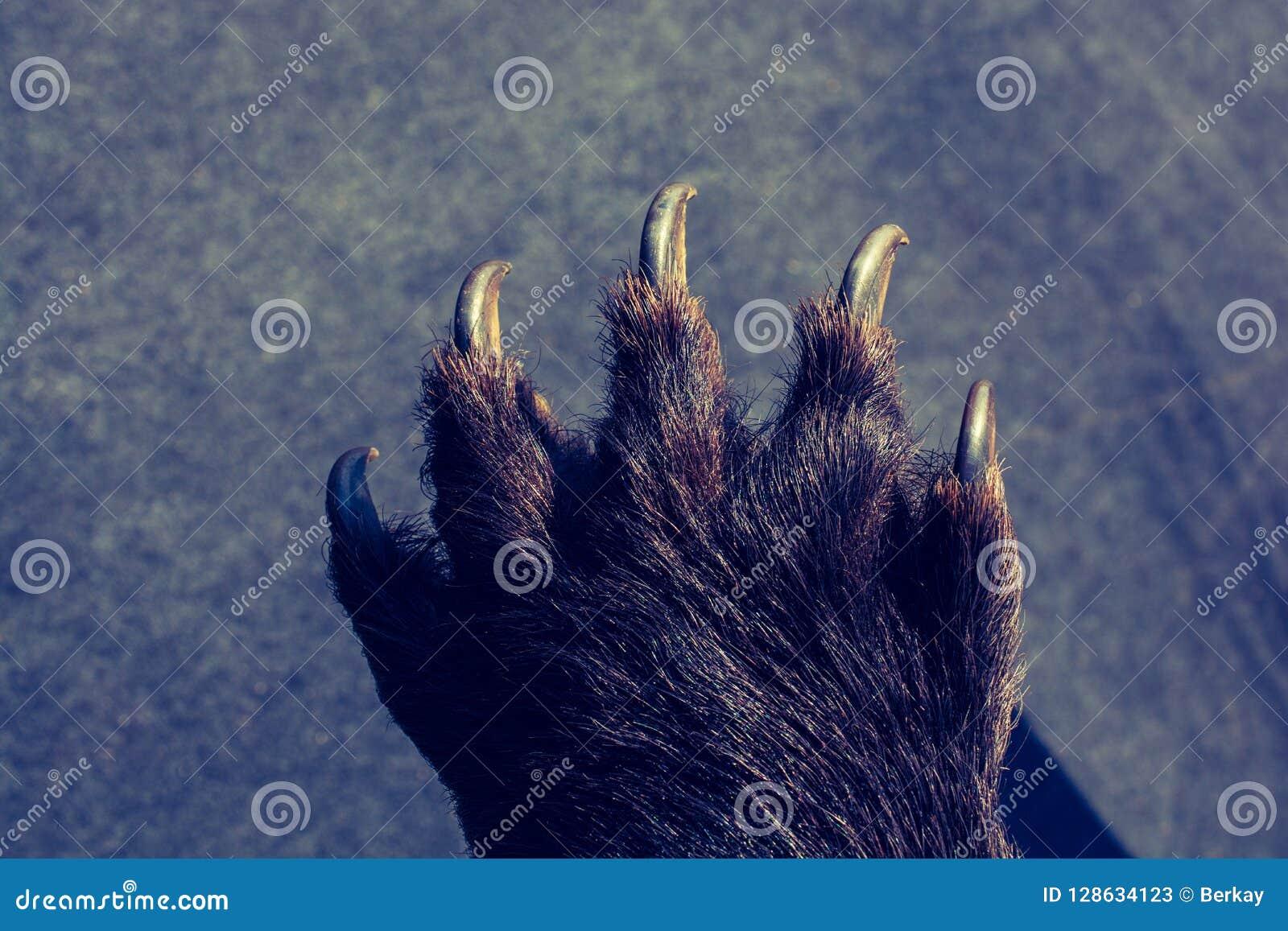 Czarna Niedźwiadkowa łapa Z ostrymi pazurami