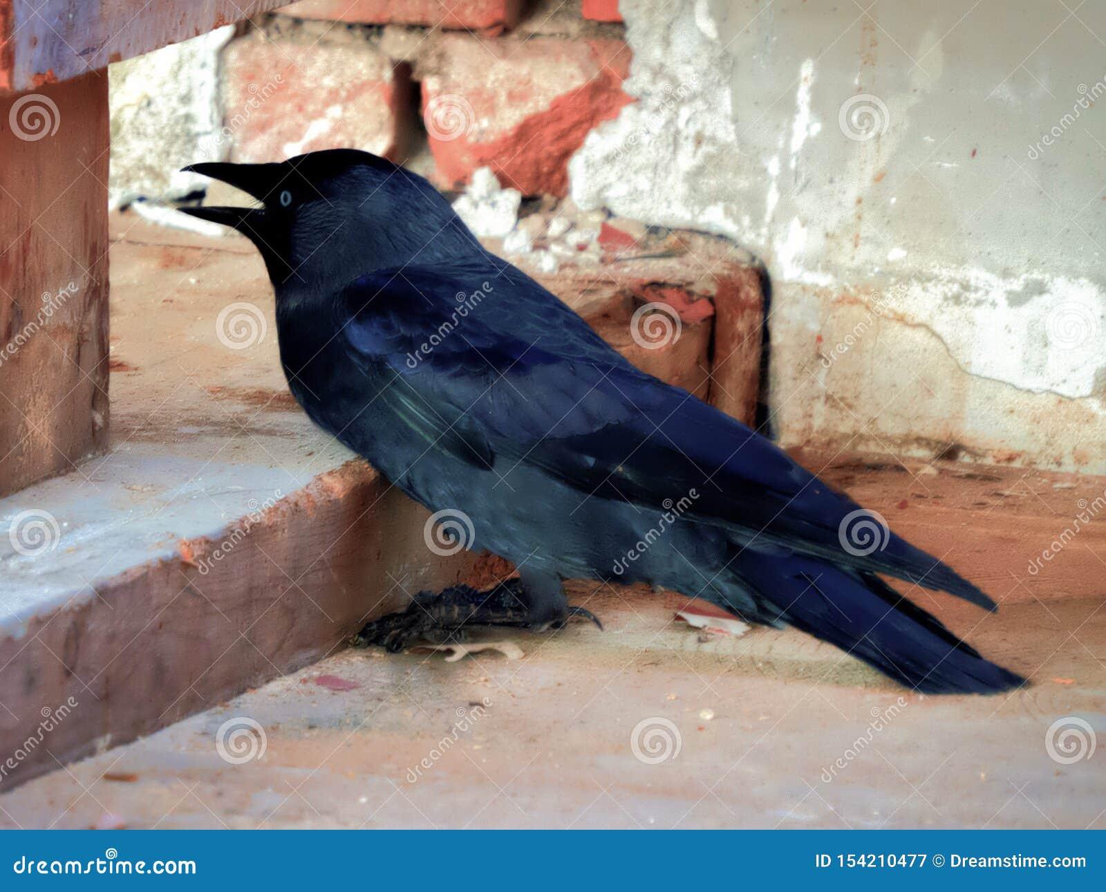 Czarna wrona w przegranym miejscu