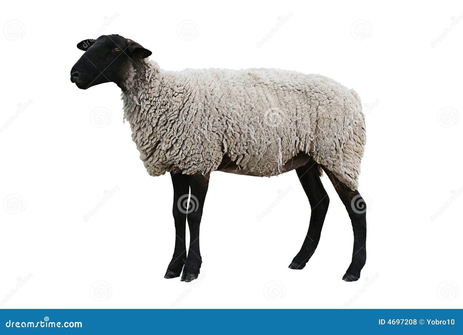 Czarne ścieżka owce