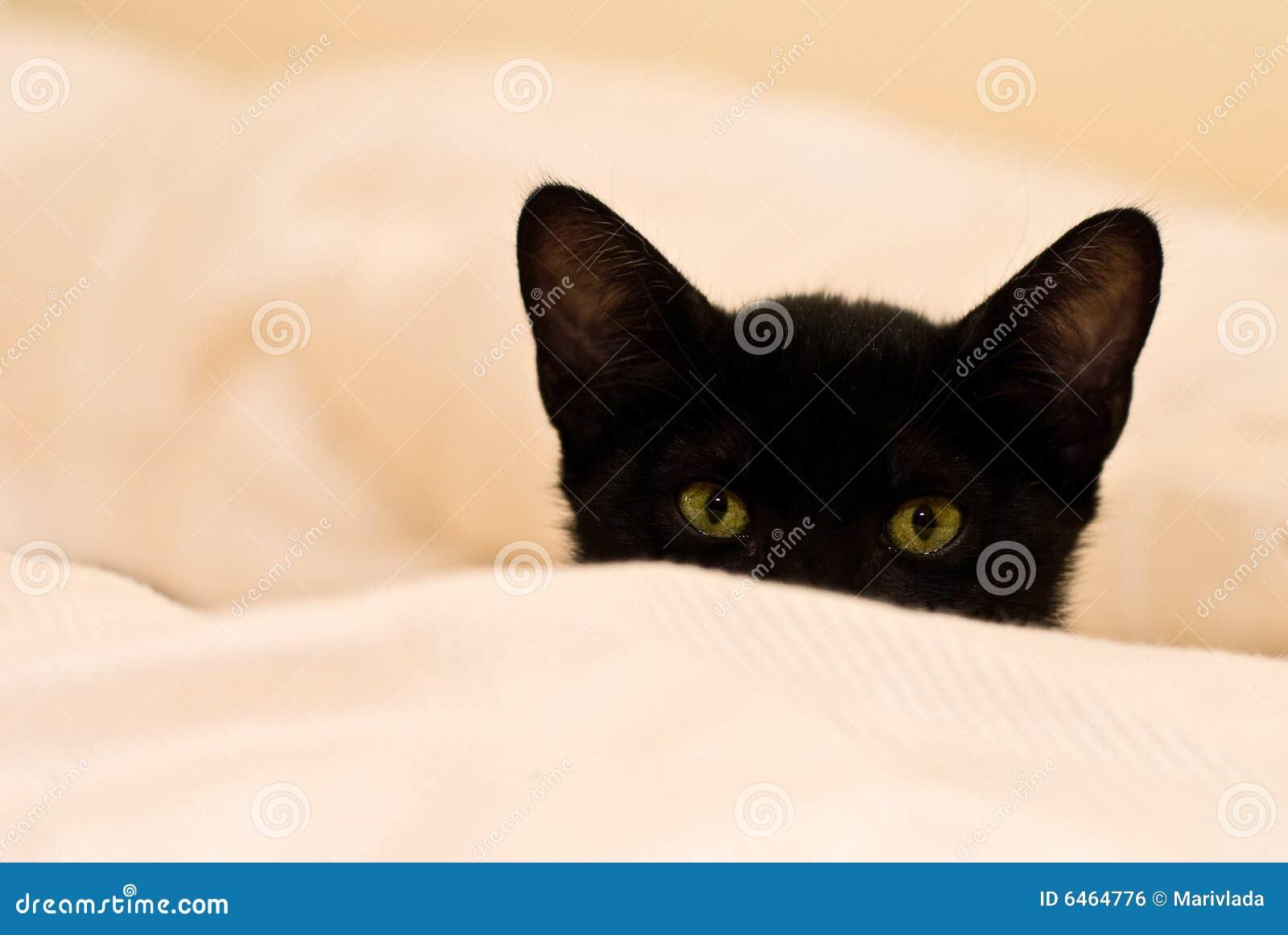 Czarne oko zielone kociak mała
