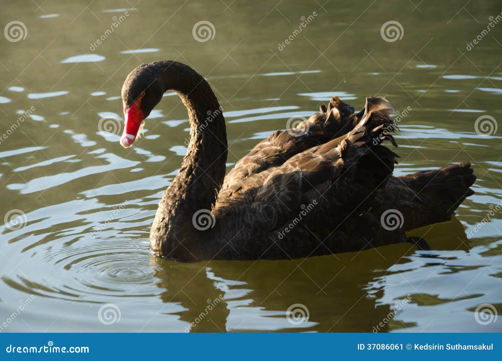 Download Czarnego łabędź Dopłynięcie Obraz Stock - Obraz złożonej z odbicie, pokojowy: 37086061